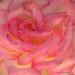 A Rose In Macro